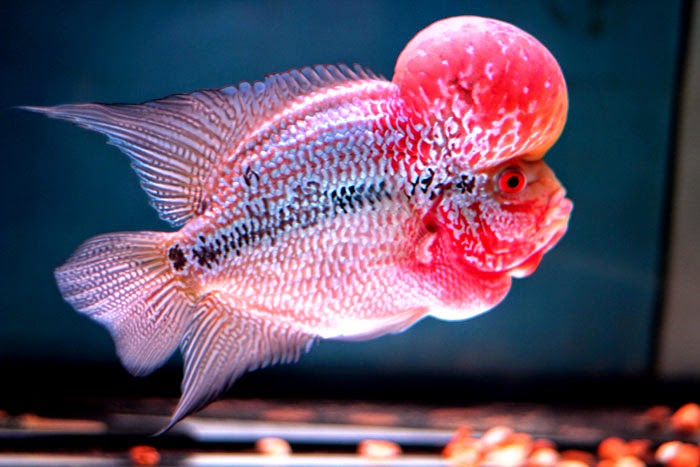 Fish for sale for Flowerhorn fish for sale