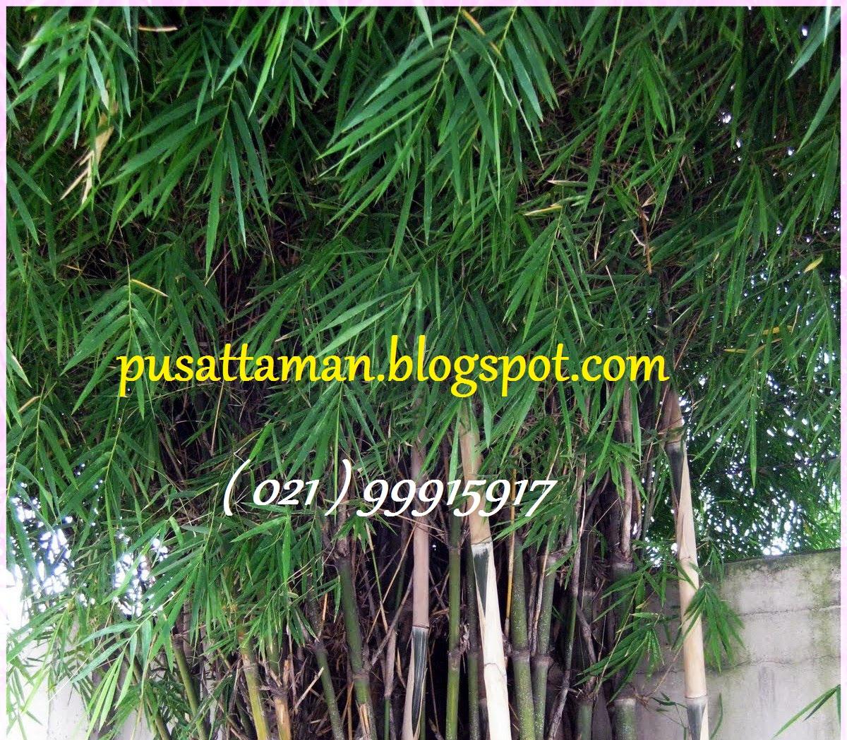 Jual Pohon Bambu Cina, Bambu Jepang, Bambu Kuning & Bambu Air ...