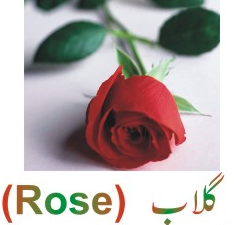 essay on rose in urdu A short essay about flowers browse quotes by subject | browse quotes by author: on flowers a short is of patriotism the myrrh is emblematic of gladness, and the myrtle of love the olive denotes peace, and the rose of york and lancaster war the pepper-plant satire, and the pear-tree.