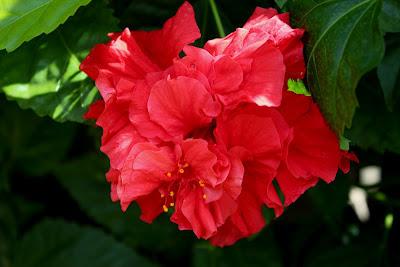Hibíscus vermelho dobrado