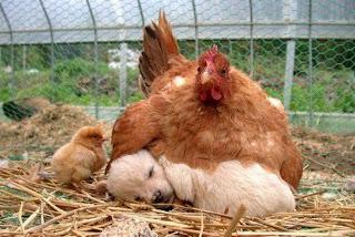 mãe adotiva: galinha e cachorrinho