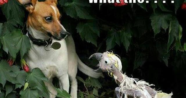 funny dog vs chicken zombie