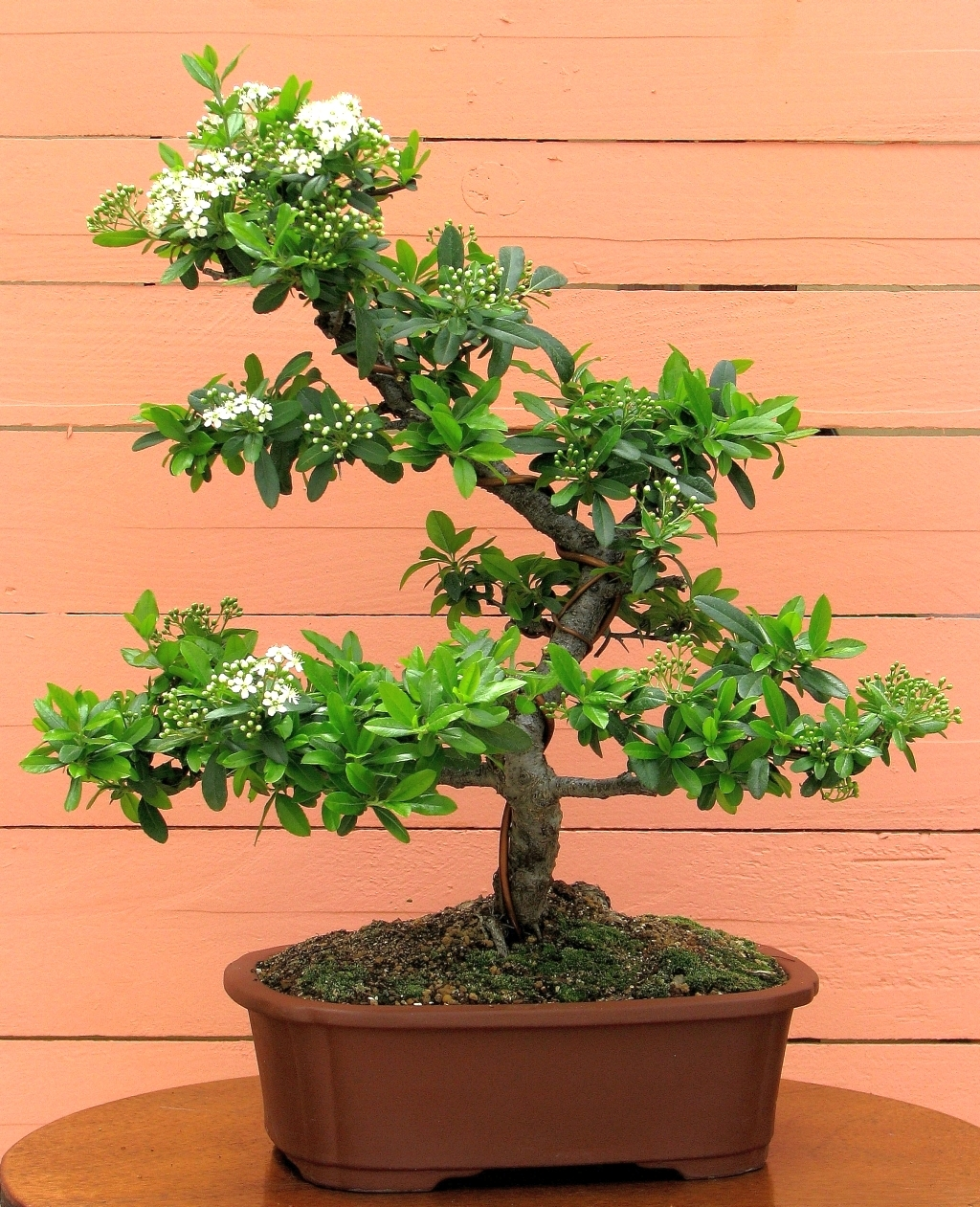 Bonsai Pantheon Bonsai Pyracantha Amp Buxus
