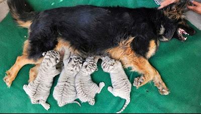 Seekor anjing betina menyusukan 4(2 jantan + 2 betina) ekor anak