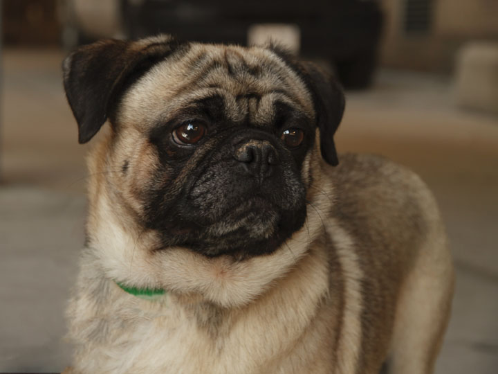 Go Back > Gallery For > Pug Dog Mix