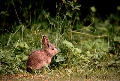 young cottontail (c) John Ashley