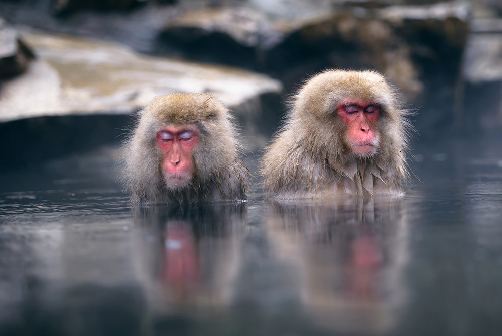 Japanese monkeys hot spring soak