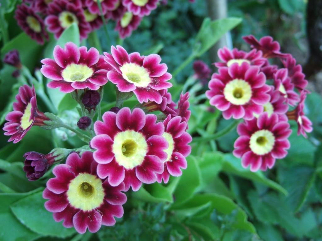Garten Aurikel+2011+%25283%2529 K - Garten Aurikel
