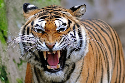 Angry Tiger Face Picture