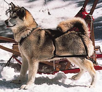 Alaska-malamute-perro-trineo