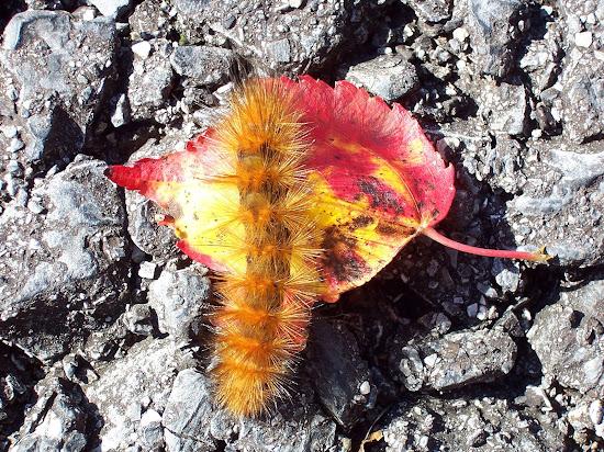 Wooly Caterpillar - ThreeSheepStudio.com