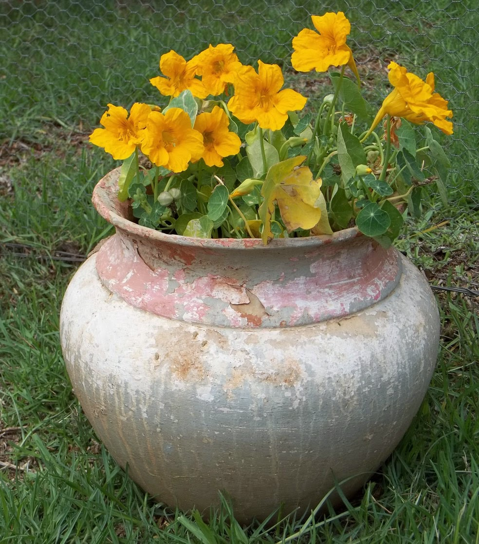 how to grow nasturtiums in pots
