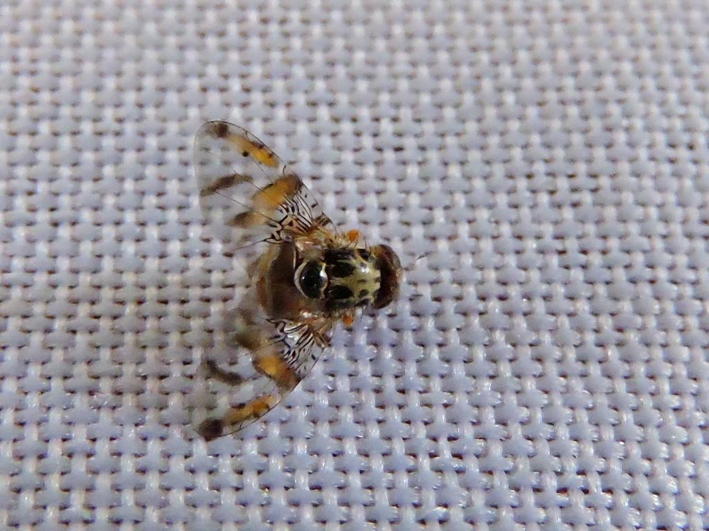 La larva y la mosca seca adulta