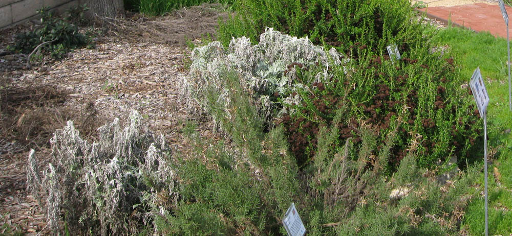 Native Plants at CSU Dominguez Hills: Frost Damage to Your ...