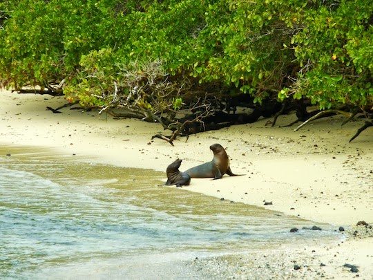 Sea lion playing with its pup on Isabela Island