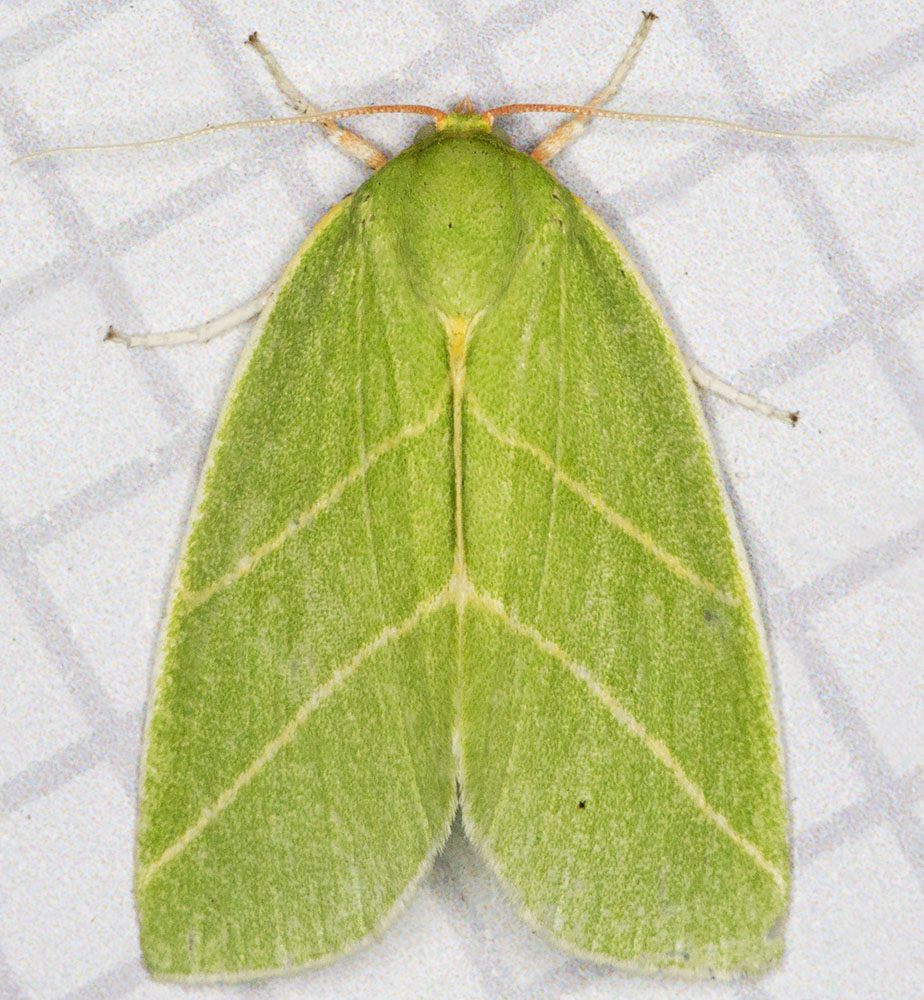 Scarce Silver-lines, Benia bicolorana.  Noctuidae.  West Wickham Common light trap, 16 July 2014.