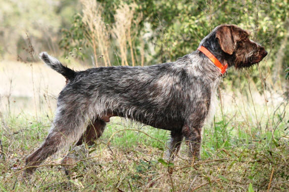 German Wirehaired Pointer The Muscle And Best Hunter Dogs