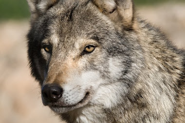 Firma en contra de las abatidas de lobos en Asturias