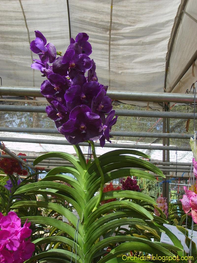 Orchids flowers pictures bulbophyllum vanda cattleya cymbidium phalaenopsis dendrobium culture - Vanda orchid care ...