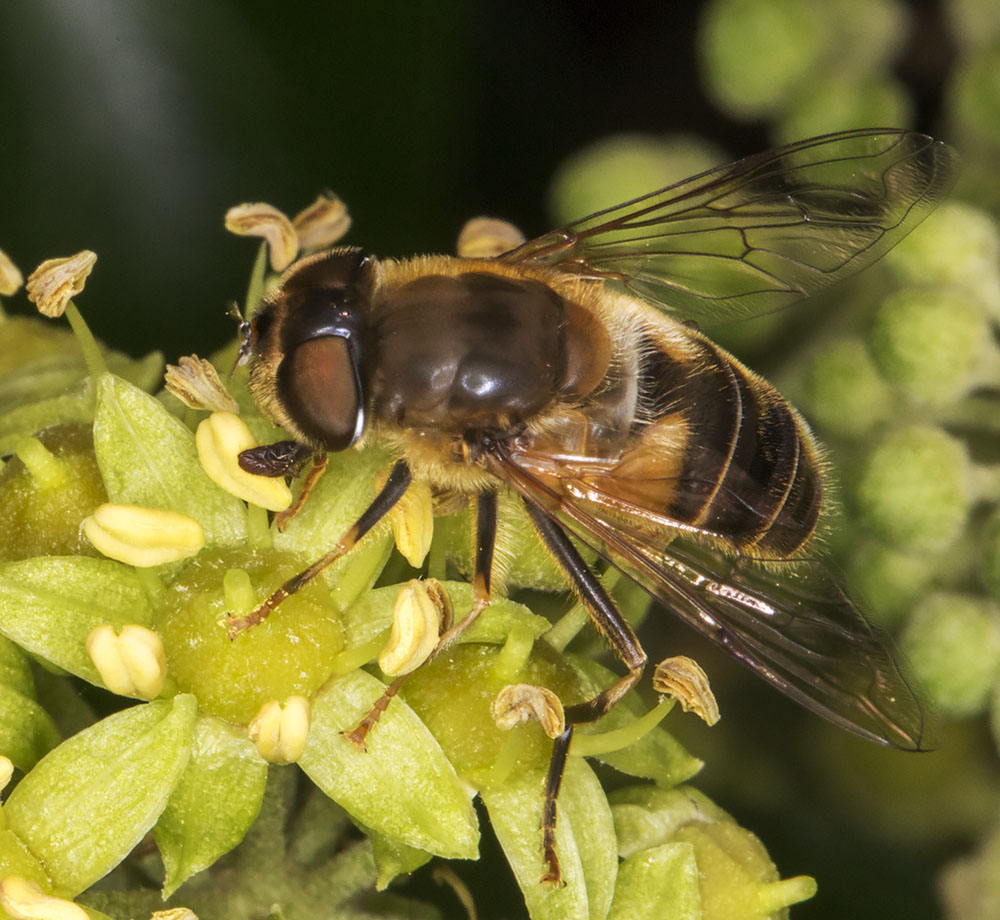Hoverfly, Eristalis pertinax.  Gates Green Road, Coney Hall.  31 August 2014.