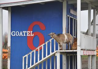 goat, hotel,