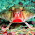 Red-Liped Batfish - A Weird Walking Fish