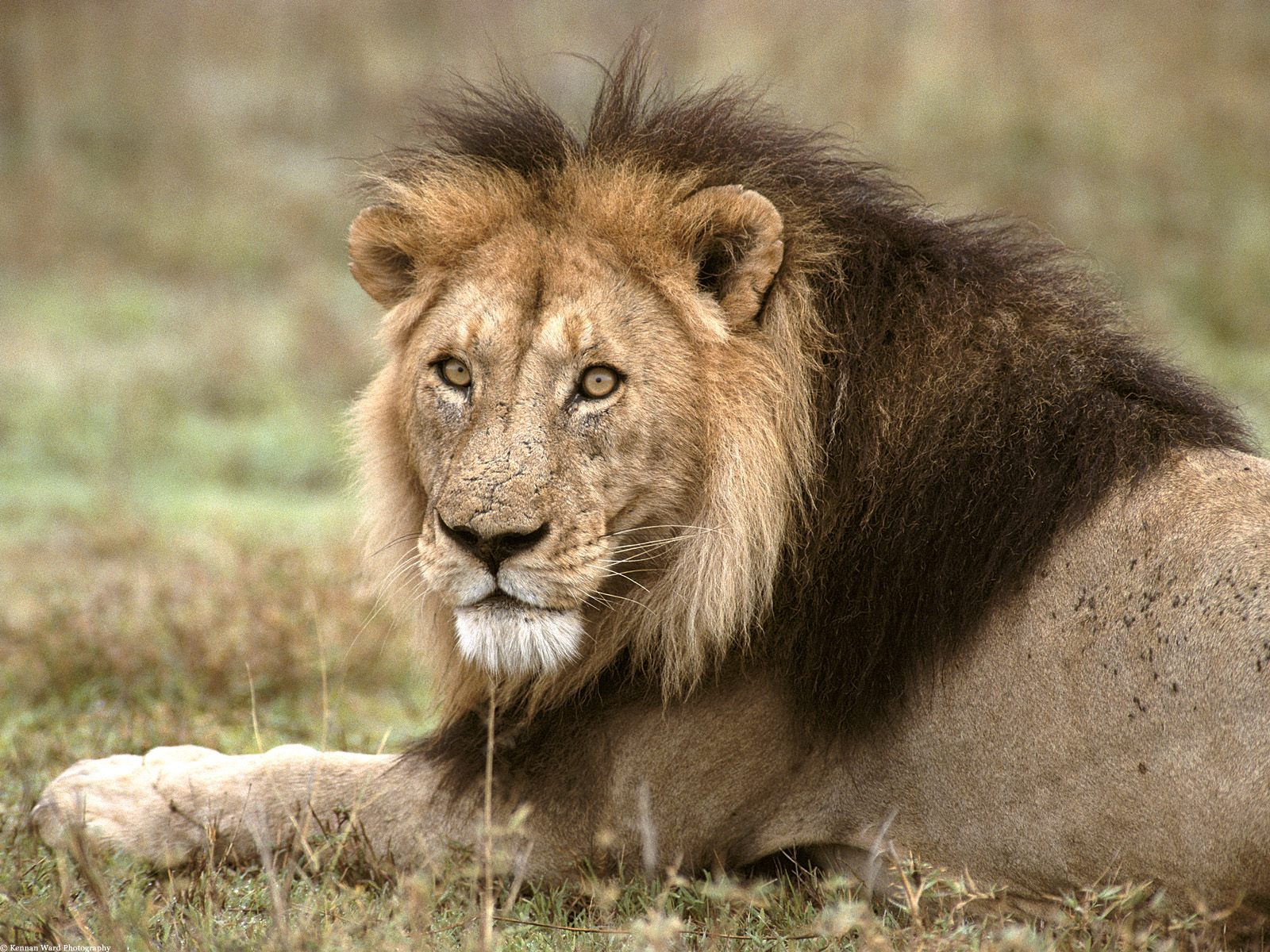 african lions - photo #9