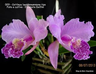 Epidendrum labiatum, Cattleya speciosissima, Cattleya roezlii, Cattleya malouana, Cattleya bassetii