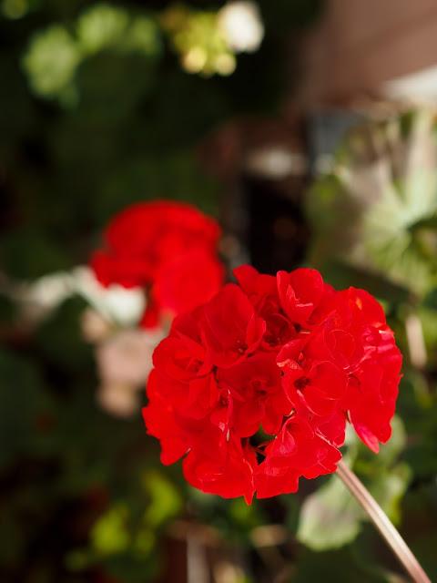 pelakuu pelargonia kukka punainen