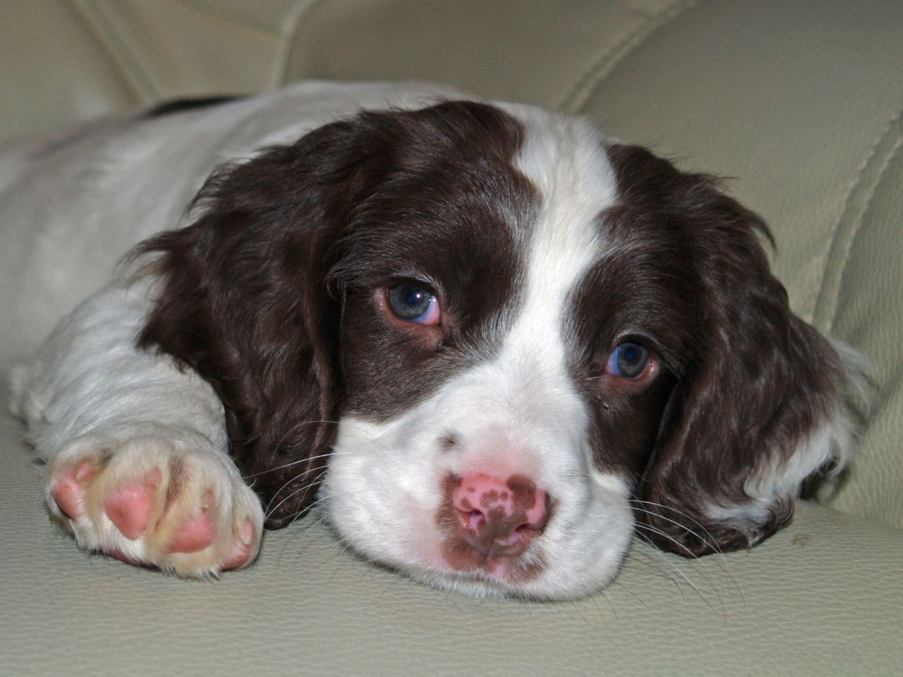 Brittany Springer Spaniel Puppies English Springer Spaniel Puppy