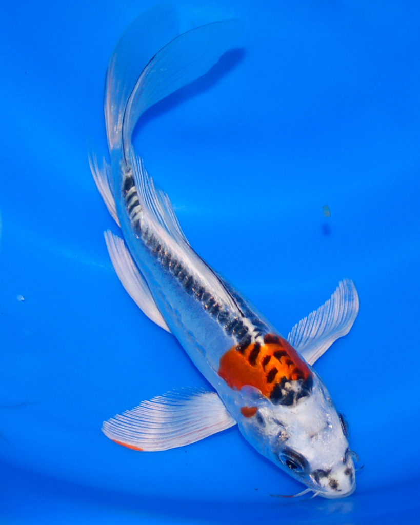The blackwater blog butterfly koi for sale at blackwater for Koi fish for sale