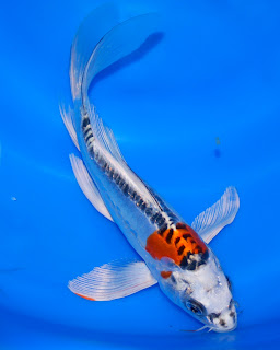 The blackwater blog august 2012 for Koi fish care