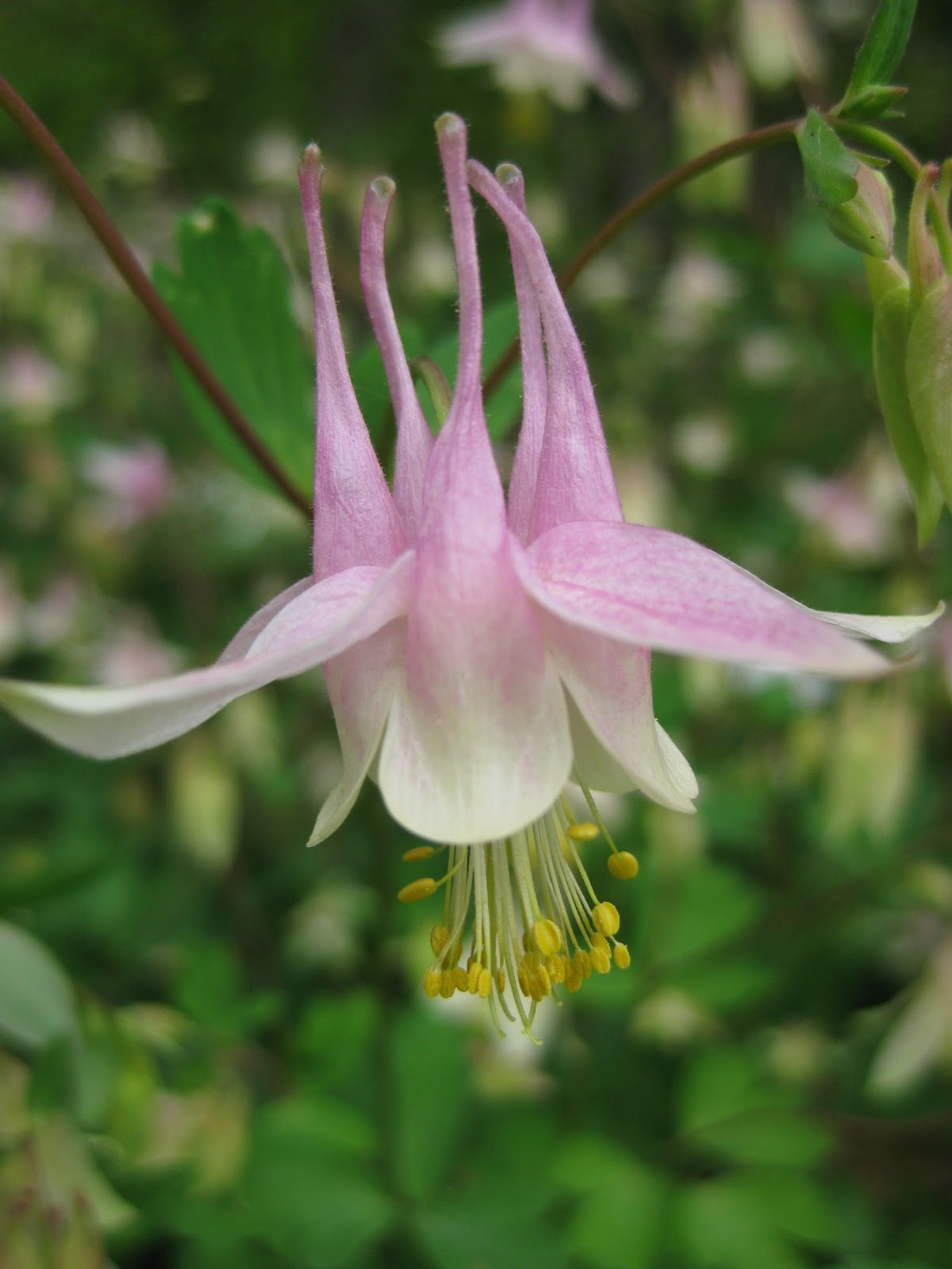 rotary botanical gardens  hort blog consider columbines, Natural flower