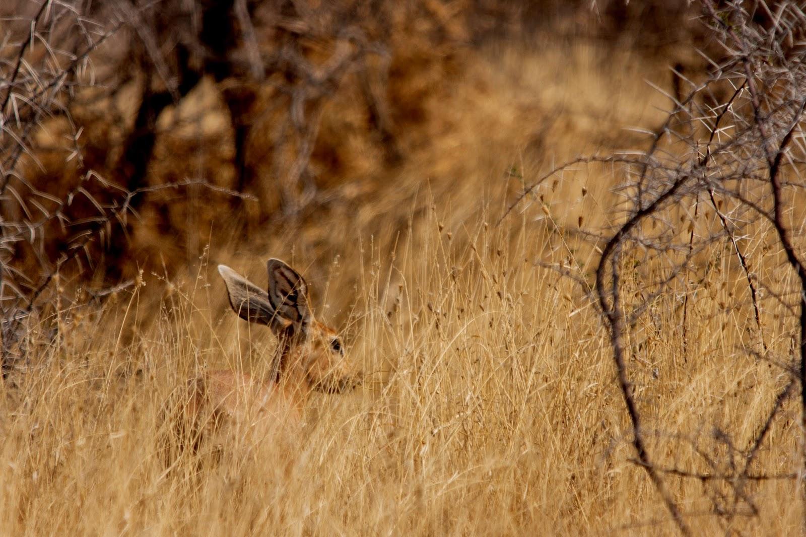 steenbok etosha namibia