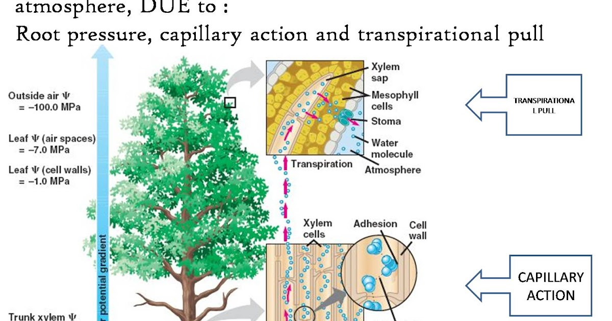 Protein Synthesis Transpiration Diagram Auto Electrical Wiring