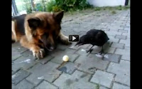 A crow and dog playing ball video