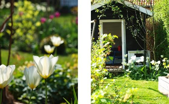 Børnenes sorte legehus står nu omgivet af hvide tulipaner Purissima