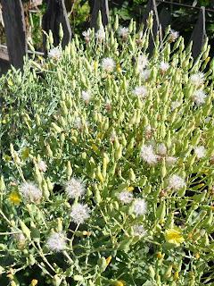 16 августа, начинают созревать семена салата