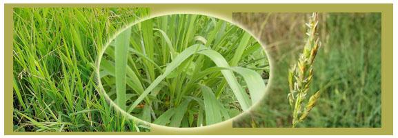 หญ้าไซ