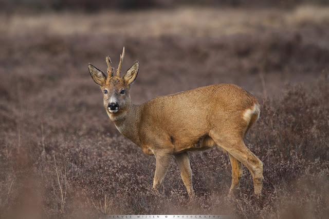 Ree (m) - Roe Deer (m) - Capreolus capreolus