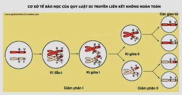 Di truyền liên kết không hoàn toàn