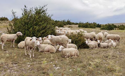 Lacaune breed of sheep