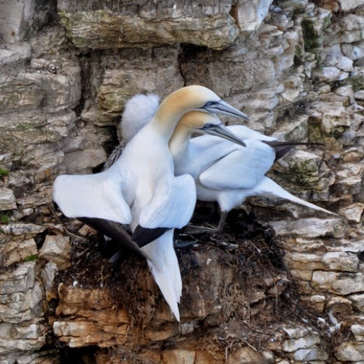 northern atlantic gannets on nest