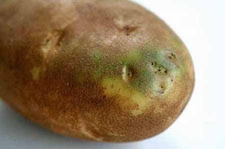 لا تشتري البطاطس التي تحتوي على جزء أخضر