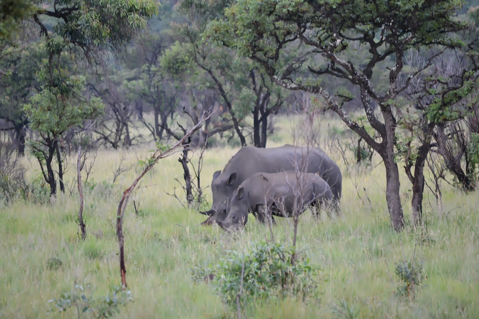 Rhino mum and baby in Mabula