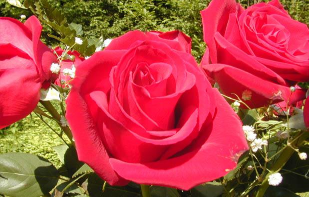 Trik Cara Merawat Bunga Mawar