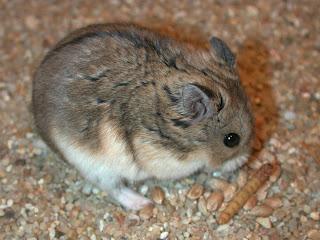 Jenis-Jenis Hamster dan Karakternya
