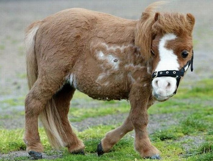 Charming Miniature Horse Koda ~ Damn Cool Pictures