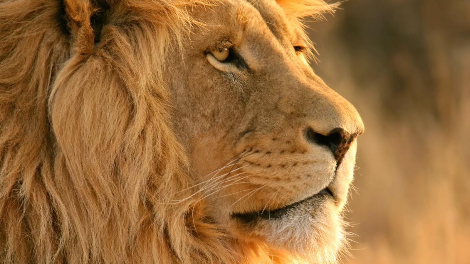 http://1.bp.blogspot.com/-Wi2LAowhi9c/ULjjg3Rot5I/AAAAAAAAAbk/R6ELe-xRUys/s1600/lion-face-1600x900.jpg