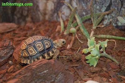 Cría de Stigmochelys pardalis babcocki en su terrario